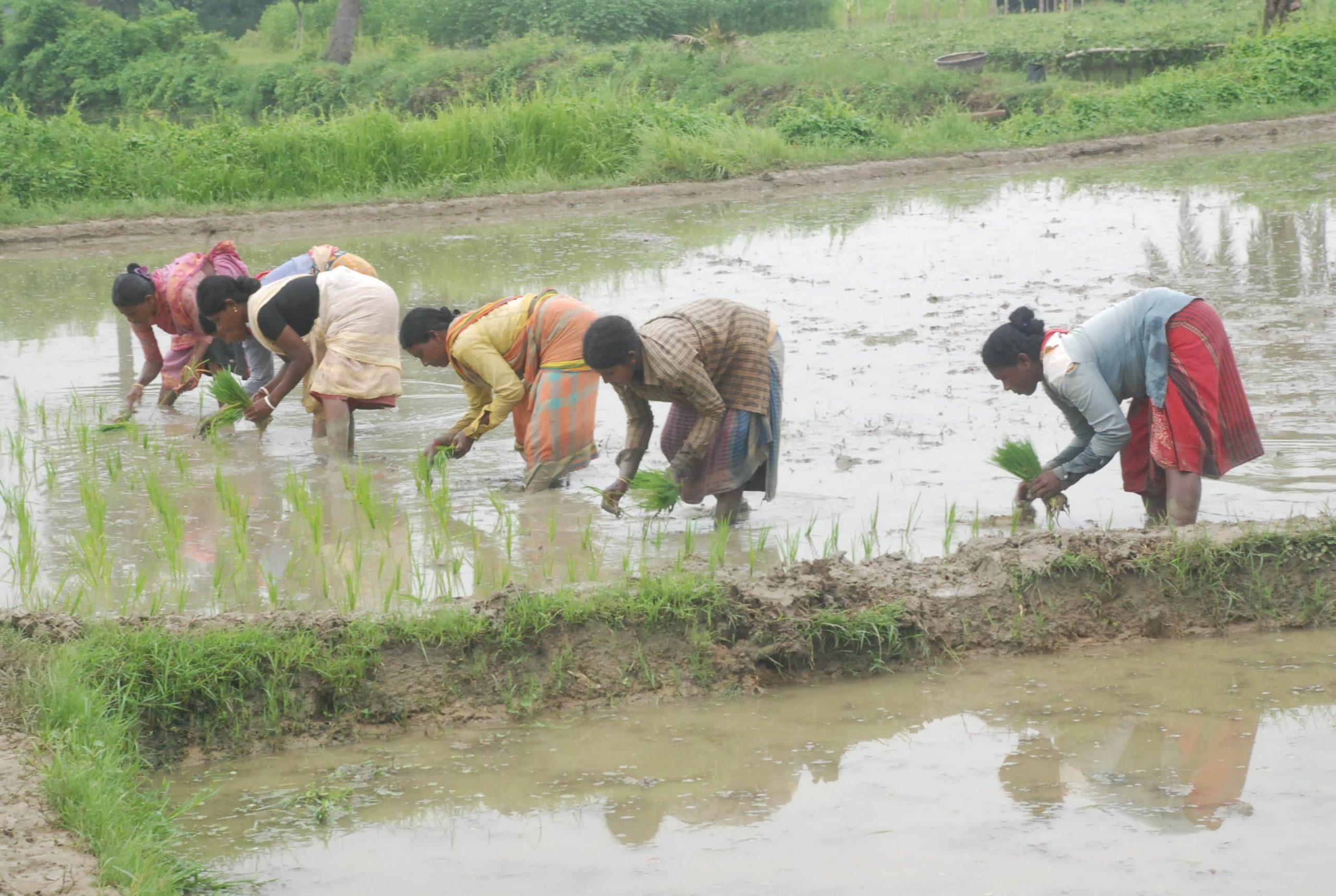 রাজশাহীতে ৭৬,৫০০ হেক্টর জমিতে চাষ হচ্ছে রোপা আমন