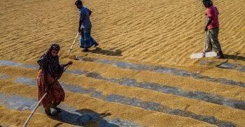 বোরো : ২৭ টাকা কেজি দরে ধান, ৪০ টাকায় চাল কিনবে সরকার