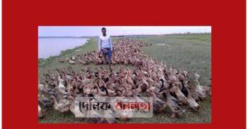 চলনবিলে হাঁস পালনে বাড়ছে আগ্রহ ,অর্থনৈতিকভাবে সমৃদ্ধ করছে নাটোর জেলাকে