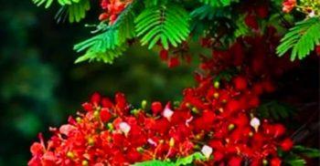 প্রকৃতি সেজেছে লাল – সবুজে,  কৃষ্ণচূড়ার  রঙে