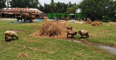 স্কুল আঙিনায় গরু-ছাগল বাঁধলেই ব্যবস্থা