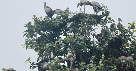 পাখিদের গ্রাম ক্ষেতলালে কাজীপাড়া গ্রাম জুড়ে আশ্রয় নিয়েছে হাজার হাজার পাখি